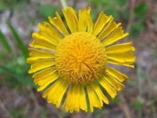 2000 AUTUMN SNEEZEWEED Helenium Helens Flower Seeds