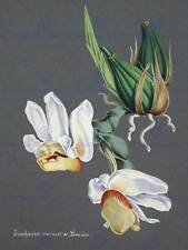 PAINTING BOOK PAGE ORCHID COLLECTION STANHOPEA ECORNUTA ART PRINT POSTER HP1602