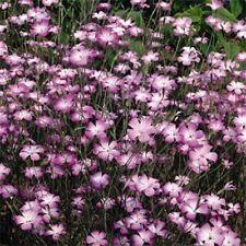 Agrostemma- Rose- 50 Seeds- Bogo 50% off Sale