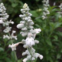 Indianischer Räuchersalbei Salvia apiana White Sage Weißer Salbei Räucher-Salbei