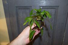 Cryptocoryne wendtii 'Green x Tall Form' - Foreground Aquatic Plant