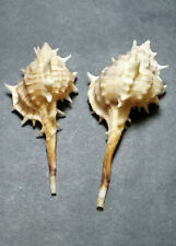 two Murex recuirvirostris from Mexico, one with operculum