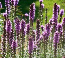 ☺50 graines de plume du Kansas / liatris spicata
