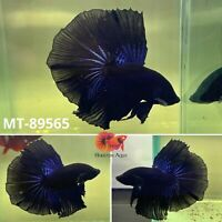 Halfmoon Solid Black Male Betta Live Fish - High Quality Grade A++  USA Seller