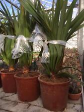 Pandanus Utilis (schroef palm)