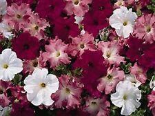 50 Pelleted Petunia Seeds Aladdin Cherry Morn Mix Petunia Seeds