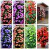 50Pcs Geranium Pelargonium Flower Seeds 6 Kind Color Rare Perennial Bonsai