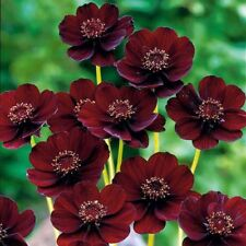 Rare Chocolate Cosmos Flower Seeds Beautiful Coreopsis New Variety 20 Seeds