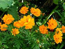 WILDES STIEFMÜTTERCHEN  120 Samen Viola Tricolor Ackerveilchen Schöngesicht