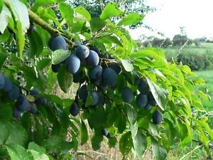 Damsons from Herefordshire (1kg = 2.2lbs)