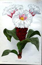 COSTUS SPECIOSUS Crepe Ginger Linden Original Antique Botanical  Print 1896