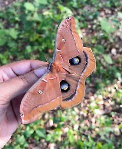 15x Live Polyphemus Moth Eggs (Antheraea Polyphemus)