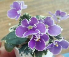 African Violet Plant - Pat Champagne ~ variegated semi~ in bloom