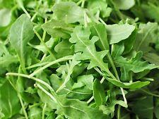 500 Graines de Roquette Méthode BIO seeds plante salade légumes jardin potager