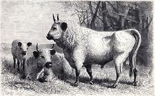Wild Cattle Of Cadzow Park 1894 Mammals Victorian Engraving