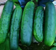Cucumber (Marketmore 76) Garden Vegetable seeds–1/4oz prepack(Approx.100+ seeds)