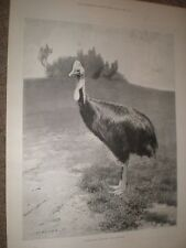 The Cassowary Bird 1901 old print ref AY