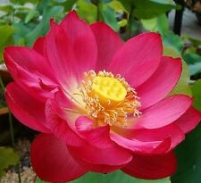 10 Red Lotus Seeds Water Lily Pad Nymphaea Nelumbo Nucifera 60kind choose