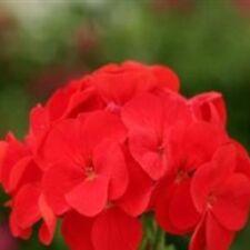 Geranium - Spirit Red - 10 Seeds