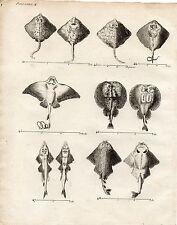 GRAVURE XVIIIe / POISSONS CARTILAGINEUX raie, torpille, angelot, pastenade..