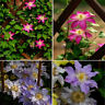 50 seeds 24 Mixed colours clematis clematis climbing plants Home Garden flower