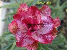 "NEW!! ADENIUM OBESUM DESERT ROSE ""VENDA LINE"" 2 GRAFTED PLANTS RARE FRESH!!"