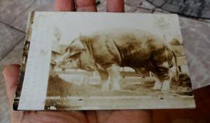 SPOTSWOOD LAD HOG Pig RAPHINE, VIRGINIA VA REAL PHOTO POSTCARD ~1907-1920's~
