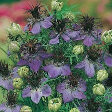 Suffolk Herbs - Fennel Flower - 60 Seeds