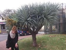 ❁ Yucca torreyi-Palme ❁ Winterharte, stammbildende Sukkulente ❁ frisches Saatgut