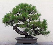 Japanese Black Pine 25 Seed Bonsai Garden Home Decor New