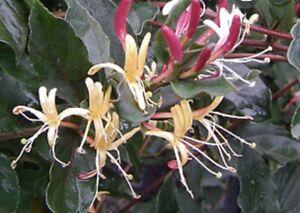"Live rooted - Lonicera Purpurea, hummingbird favorite 2"" Pot"