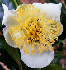 SEEDS Camellia sinensis 'Assamica' seeds