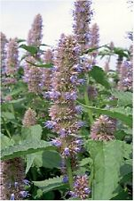 Herb-Anís hyssop-Agastache Foeniculum - 1000 Semillas para las abejas y mariposas