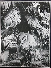 Albert Renger Patzsch, Original Fotografie um 1925, Stempel, Monstera deliciosa