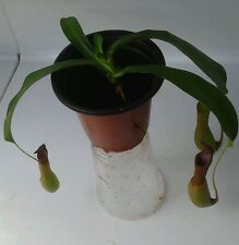 "Nepenthes Alata, Carnivorous Pitcher Plant- I Eat Bugs! Med. Live Plant 4"" pot"