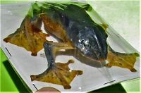 Flying Gliding Parachute Frog Rhacophorus reinwardti Female Sitting FAST FROM US