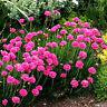 Pink Thrift 'Splendens' Perennial Groundcover Frost Tolerant Rock Gardens Pretty