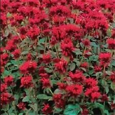 10 Panorama RED BEE BALM / MONARDA DIDYMA Oswego Tea Flower Seeds +Gift & CombSH
