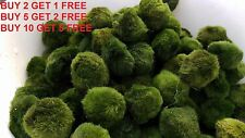 ~2 Inches Marimo Moss Ball for aquarium planted tank freshwater BUY 2 GET 1 FREE