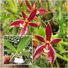 Thai Orchid Plant Phalaenopsis Red Pot 1 inch (Phal.cornu servi 'red' x sib)