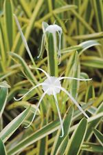 *UNCLE CHAN* Bulb Hymenocallis  littoralis  (Jacq.) Salisb. cv. Variegata รางทอง