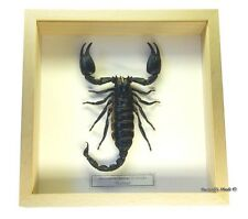 REAL MOUNTED FRAMED INSECT - Heterometrus laoticus - GIANT FOREST SCORPION
