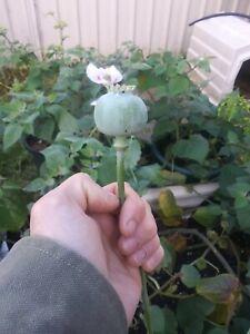 1 gram 1000+ Papaver S. High Latex Producing White Poppy seeds