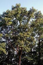Swamp Chestnut Oak Tree Quercus mixhauxii Established Roots 1 Gallon Trade Pot