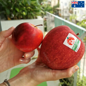 Giant Sekai Ichi Apple 30 Seeds Heirloom Exotic Rare Japanese Fruit Tree Plant