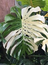 """xxl Rooted Top white"""" Giant Variegated Monstera Thai Constellation Giant"""