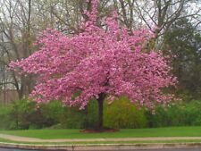5 Stella Cherry Tree Seeds Flowering Japanse Ornimental Garden Pink Fragrant 659