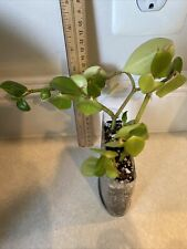 PEPEROMIA SCANDENS Plant (ALSO KNOWN AS CUPID PEPEROMIA, TRAILING PEPEROMIA)