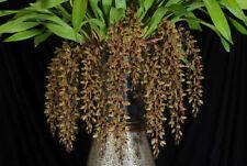 Cymbidium  Hoeny Scented Sweet Devon Australian Based Orchid Flowering size