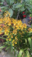 1 plants Orchidée pluie or de la reunion (oncidium)